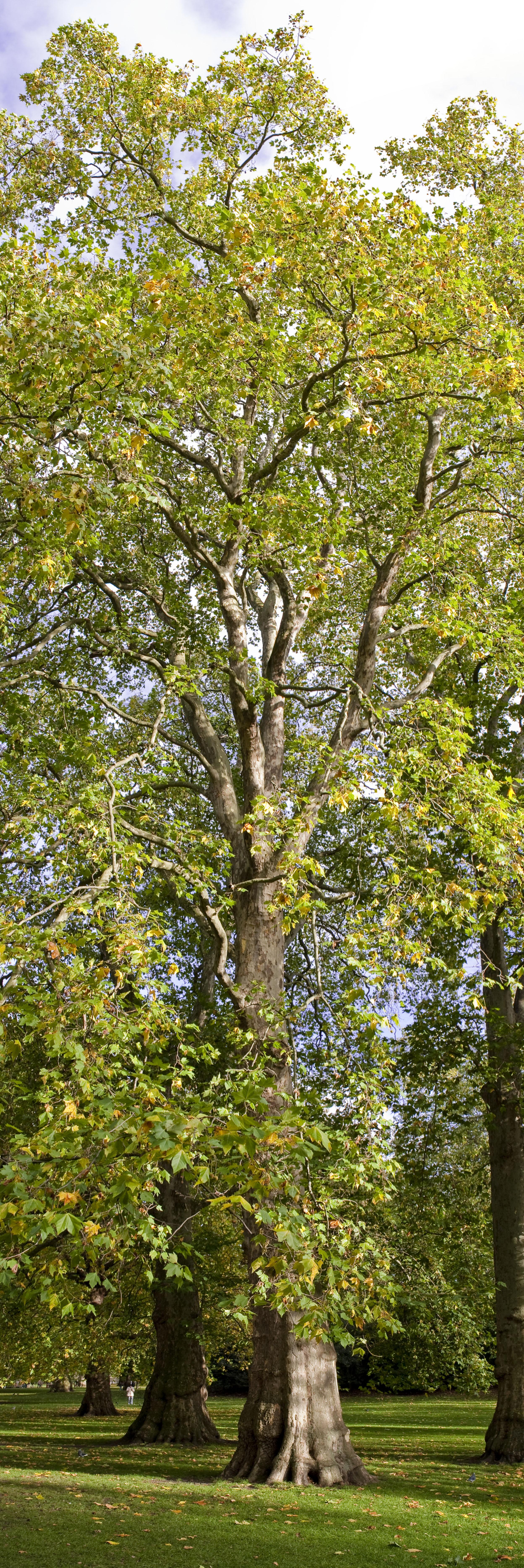 A Tree (Vertical Panoramic)   robert kent photography